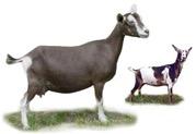 Nigerian Dwarf Goats - Doe Herd