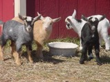 Nigerian Dwarf Goats kids for sale